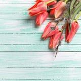 Les tulipes et le saule de chat de corail frais sur la turquoise ont peint en bois Photos stock