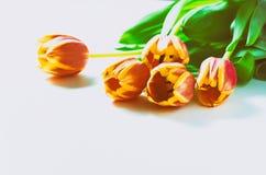 Les tulipes et les chatons oranges de chat aiment le romance de valentine de coeur sur le fond blanc Images stock
