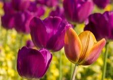 Les tulipes exposent au soleil au printemps dans un jardin à Cambridge, R-U Images stock