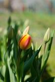 Les tulipes fleurissent la vue très belle dans le jardin dans le paysage au ressort ou à l'été image stock