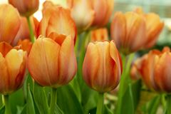 Les tulipes fleurissent le growup dans la salle en verre image libre de droits