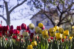 Les tulipes jaunes et rouges avec la frange sur le fond des arbres et des maisons, fleurs de ressort fleurissent au printemps dan image stock