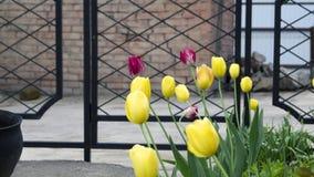 Les tulipes jaunes et rouges lumineuses de fleurs se développent dans le jardin d'été photos libres de droits