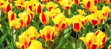 Les tulipes jaunes et rouges vibrantes avec de l'eau se laisse tomber, parterre après carte postale de pluie Images libres de droits
