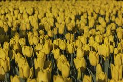 Les tulipes jaunes fleurissent au printemps admirablement fond photos libres de droits