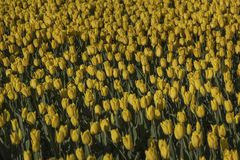 Les tulipes jaunes fleurissent au printemps admirablement fond photo stock