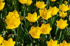 Les tulipes jaunes fleurissent un jour ensoleill? en parc sur un fond des feuilles vertes photographie stock