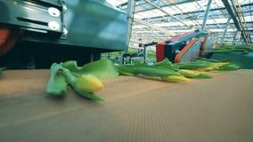 Les tulipes jaunes se déplacent sur un convoyeur de serre chaude après la coupe d'ampoule banque de vidéos