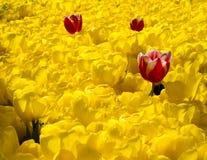 Les tulipes multicolores ont fleuri au printemps en Turquie Photographie stock libre de droits