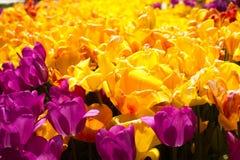 Les tulipes multicolores ont fleuri au printemps en Turquie Photo stock