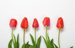 Les tulipes naturelles fleurit sur le fond blanc - concept d'amour et de vacances Photographie stock libre de droits