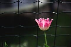 Les tulipes roses avec les bords pelucheux se développent au sol Le fond est brouillé Macro photographie stock