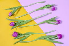 Les tulipes roses ont arrangé dans une rangée sur un fond jaune et rose Carte de voeux pour le jour du `s de valentine Images stock
