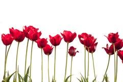 Les tulipes rouges d'isolement refoule des feuilles s'élevant dehors avec la lumière du soleil Photos stock