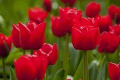 Les tulipes rouges de floraison Images stock