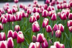 Les tulipes rouges de floraison Image stock