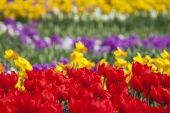 Les tulipes rouges de floraison Photo stock