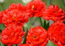 Les tulipes rouges de floraison de Terry, catégorie ABBA, une fin  Photographie stock