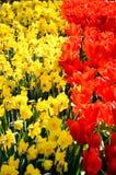 Les tulipes rouges de floraison, jaunissent des jonquilles dans Keukenhof Photos stock