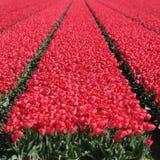 Les tulipes rouges de gisement de fleur de tulipe de ressort fleurit la floraison Photos libres de droits