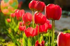 Les tulipes rouges fraîches lumineuses se développent sur un lit de fleur Images libres de droits