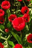 Les tulipes rouges fraîches lumineuses se développent sur un lit de fleur Image libre de droits