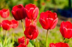 Les tulipes rouges fraîches lumineuses se développent sur un lit de fleur Photo stock