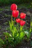 Les tulipes rouges fraîches lumineuses se développent sur un lit de fleur Image stock