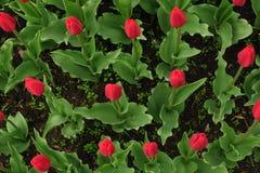 Les tulipes rouges mettent en place aux Pays-Bas Zones rouges de tulipe Vue rouge de tulipes Champs rouges de tulipe en Hollande images stock