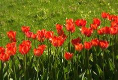 Les tulipes rouges ont fleuri en mai dans le jardin Images stock