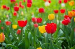 Les tulipes rouges se développent dans le domaine contre les feuilles vertes paysage brouillé de fond, d'été ou de ressort photographie stock libre de droits