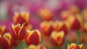 Les tulipes rouges se ferment vers le haut clips vidéos