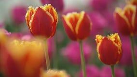 Les tulipes rouges se ferment vers le haut