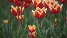 Les tulipes rouges se ferment vers le haut banque de vidéos
