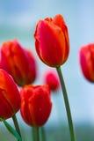 Les tulipes rouges subtiles ont fleuri en premier ressort en parc de ville, tir de plan rapproché Images stock