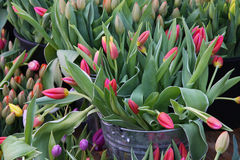 Les tulipes rouges sur l'affichage aux agriculteurs lancent sur le marché en mars Image libre de droits