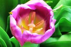 Les tulipes se ferment vers le haut photo stock