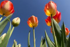 Les tulipes sont cadeau populaire aux Pays-Bas pendant les célébrations telles que le jour de valentines ou le jour de mère photos stock