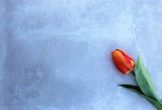 Les tulipes tordent dessus le fond de concerte avec l'espace de copie pour le message Fond de jour du ` s de mère Vue supérieure Image stock