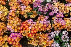 Les usines bisannuelles de chrysanthème sont de haute tige environ 1-3 pieds Et soyez les branches cassées n'est pas beaucoup Dan photos libres de droits