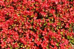 Les usines de bégonia donnent au fond une consistance rugueuse avec le vert aux feuilles brun-rougeâtre et aux fleurs rouges lumi photos stock