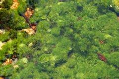 Les usines de la rivière sous-marine Photos libres de droits