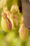 Les usines de Nepenthes ou de broc tropical ou les tasses de singe est l'usine magique Photographie stock