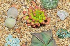 Les usines de Succulent, de cactus et de Lithops sur le jardin jaune lapide le plan rapproché Photos libres de droits