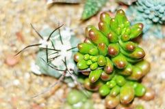 Les usines de Succulent et de cactus sur le jardin jaune lapide le plan rapproché Photo libre de droits