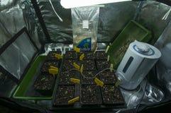 Les usines minuscules de la marijuana se développent dans un environnement protégé image stock