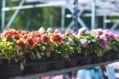 Les usines mises en pot de petit dahlia dans une pépinière font des emplettes Images stock