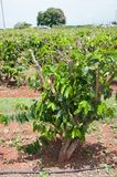 Les usines vertes de grains de café se développent dans les rangées à une ferme dans Kauai, Hawaï Photos libres de droits