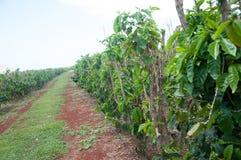 Les usines vertes de grains de café se développent dans les rangées à une ferme dans Kauai, Hawaï Photo libre de droits