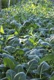 Les usines vertes fraîches de chou-rave dans la serre, vert part photos stock
